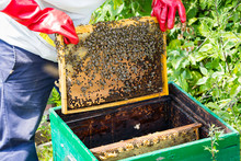 A Man Works In An Apiary Colle...