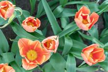 Beautiful Pink Tulips. Tulip F...