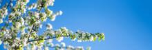 Spring White Blooming Sakura C...