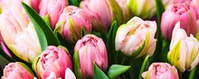 Fresh Rosy Tulips Closeup