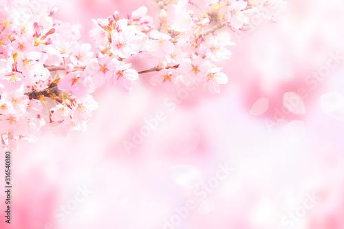 Fotografiet 桜がふわふわ舞い降りる