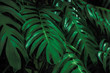 tropical leaves,( Philodendron) green foliage in jungle, nature background
