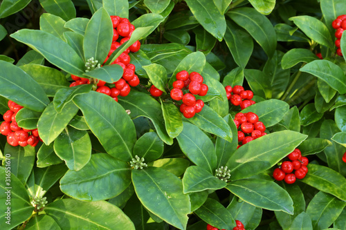 Canvastavla Skimmia japonica, the Japanese skimmia, flowering plant in the family Rutaceae, evergreen shrub, with red berries and white buds
