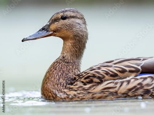 Canvas Print Closeup portrait of female mallard duck (Anas platyrhynchos) on the water