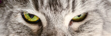 Cats Eyes. Maine Coon Dramatic...