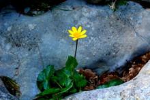 Fleur Jaune Unique Au Milieu D...