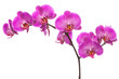 Branch of pink blooming orchid.