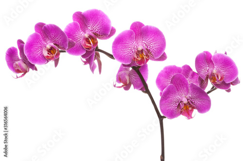 Photo Branch of pink blooming orchid.