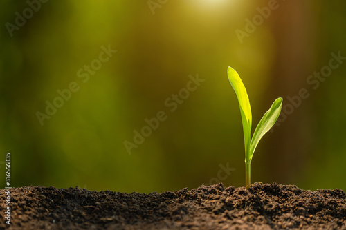 Fényképezés Green sprout of corn tree growing in soil with outdoor sunlight and green blur background