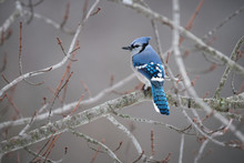 Blue Jay Bird Perched On Maple...