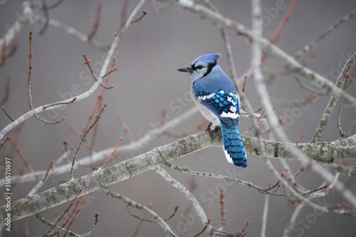 Valokuvatapetti Blue Jay Bird Perched on Maple Tree Branch in Winter