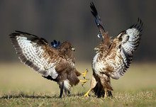 Common Buzzard (Buteo Buteo) I...