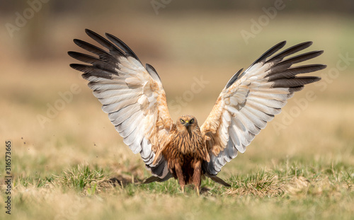 Fotografia Marsh harrier (Circus aeruginosus) - male