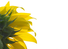 Close Up Backside Of Sunflower Isolated On White Background.