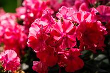 Pink Flower Phlok Panikulata I...