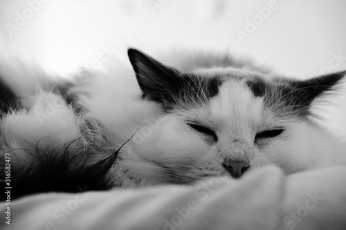 Fototapety, obrazy: Purebred Ragdoll cat relaxing at domestic room.