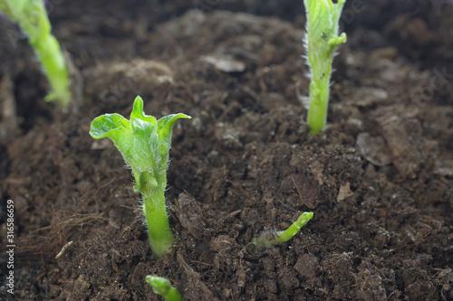 Obraz growing potato shoots - fototapety do salonu