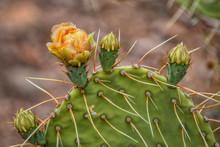 Prickly Pear Cactus Blooms In The Sonoran Desert