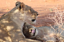 Reunion Of A Lion Family In South Africa