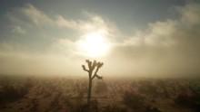 Joshua Tree With Golden Fog In...