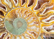 Ammonite Fossil Shell 2