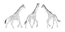 Hand Drawn Set Of Giraffe Animal, Drawing By Ink Outline Sketch. Vector Graphic Illustration, Black Isolated On White Background