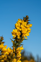 Gorse Flowering On A Frosty Sunny Day At Chailey Nature Reserve In Easst Sussex