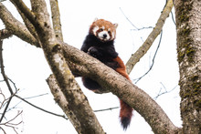 Cute Red Panda Pulling The Tongue Out Curious Couple Sex Mating On Branch Happy