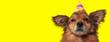 Leinwanddruck Bild - metis dog wearing a birthday hat and looking away pensive