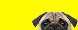 Fototapeta Dogs - pug dog with gray fur exposing only half of head