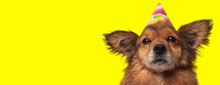 Metis Dog Wearing A Birthday H...