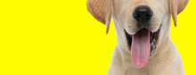 Close Up On A Labrador Retriev...