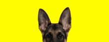 German Shepherd Dog Looking At...