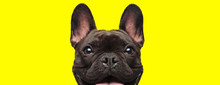 French Bulldog Dog Looking At ...