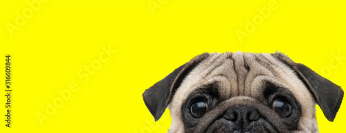 Fototapeta pug dog with gray fur exposing only half of head obraz