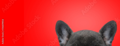Fototapeta close up on french bulldog dog's forehead and ears obraz