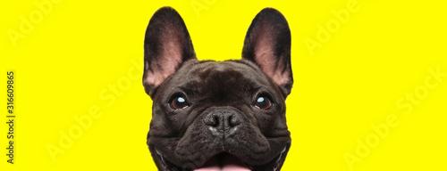 Obraz french bulldog dog looking at camera with joy - fototapety do salonu