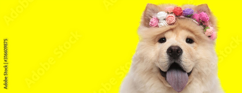 Obraz adorable chow chow dog sticking out tongue happy - fototapety do salonu
