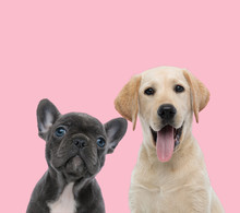 Team Of Two Dogs On Pink Background