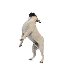 Side View Of An Adorable Pug Looking Up And Jumping