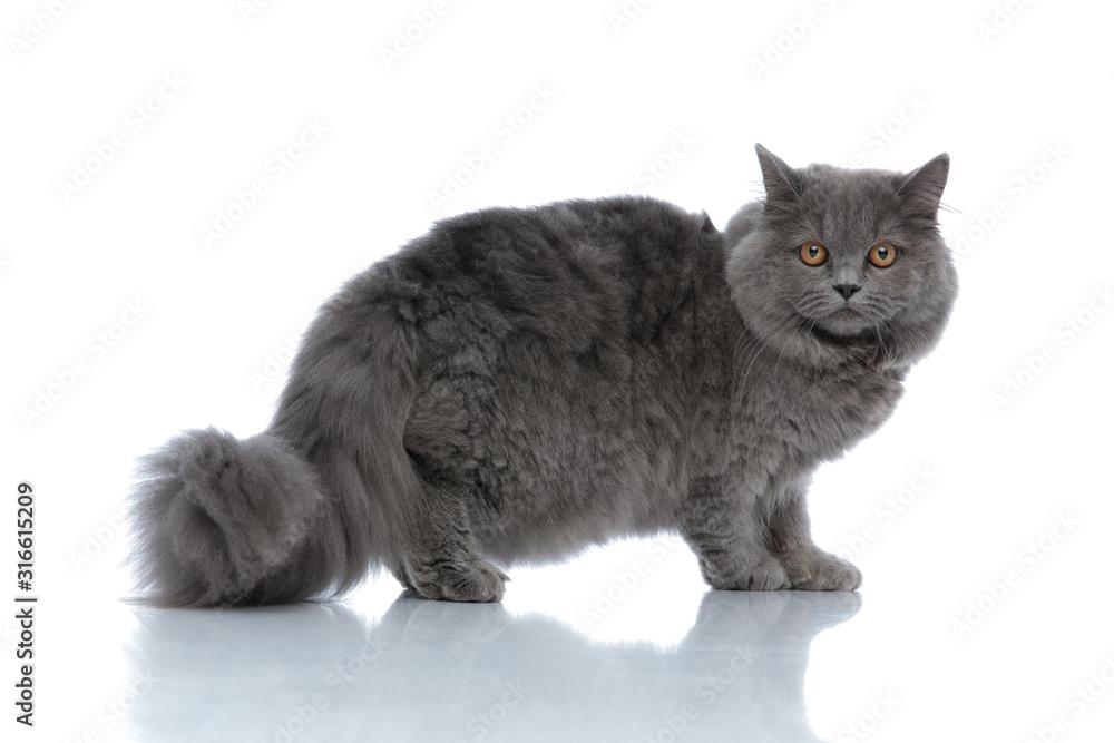 Fototapeta british longhair cat standing and staring at camera