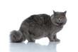 british longhair cat standing and staring at camera