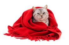 Kitten In A Red Scarf.