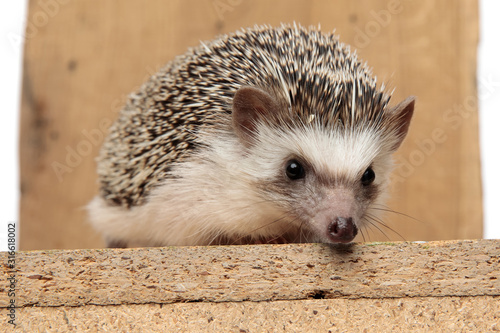 african hedgehog lying down on wooden board with no occupation Wallpaper Mural