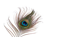 Beautiful Peacock Feather On A...