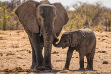 Loving Elephant Mother And Calf Cuddling. A Young Elephant Right Next To An Adult One. Elephant With Baby. Tender Moment Between Animals. Mothers And Little Child. Parents Love To Son And Daughter.