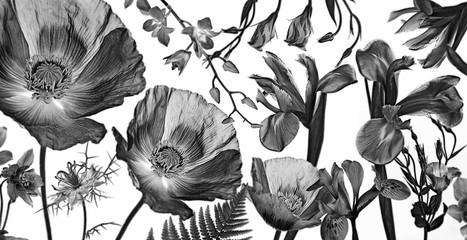 Fototapeta Czarno-Biały three poppies, irises and other flowers on in black on white background