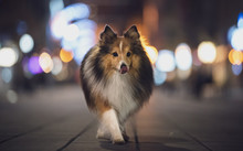 Dog Walking In The Night City