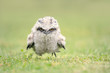 Cute, baby tawny frogmouth chick running on grass