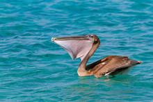 Brown Pelican Eating Fresh Fish On Sea